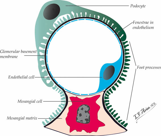 What is the function of podocytes?